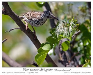 Bar-breasted Honeyeater (Ramsayornis fasciatus) ©Ian