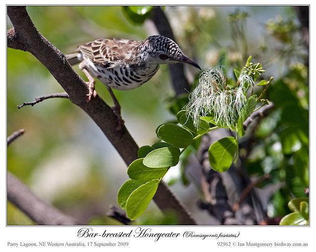 Bar-breasted Honeyeater (Ramsayornis fasciatus) ©Ian