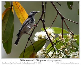 Bar-breasted Honeyeater (Ramsayornis fasciatus) by Ian