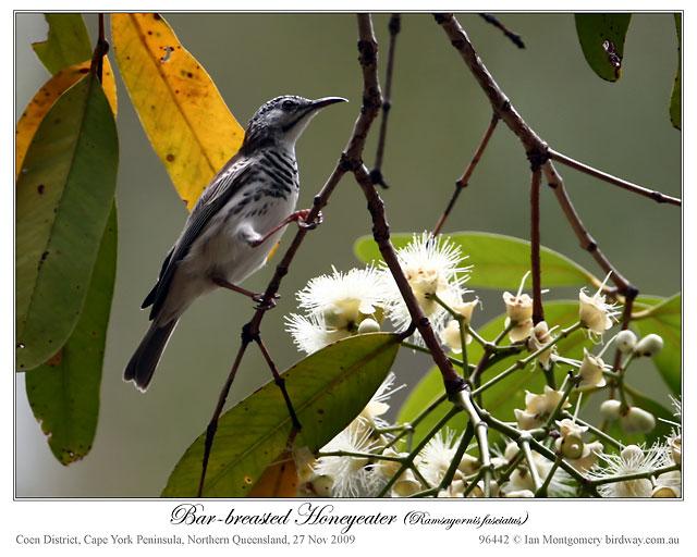 Bar-breasted Honeyeater (Ramsayornis fasciatus) by Ian
