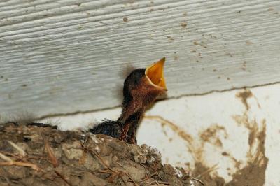 Barn Swallow (Hirundo rustica) baby by Neal Addy Gallery