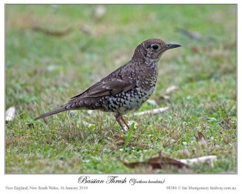 Bassian Thrush by Ian