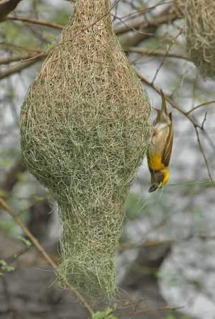Baya Weaver (Ploceus philippinus) by Nikhil Devasar