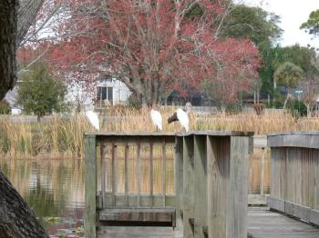 Cattle Egrets and Juvenile White Ibis at S Lake Howard