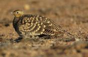Chestnut-bellied Sandgrouse (Pterocles exustus) by Nikhil Devasar