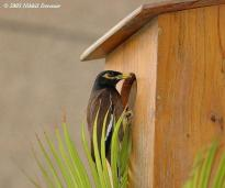 Common Myna (Acridotheres tristis) by Nikhil Devasar