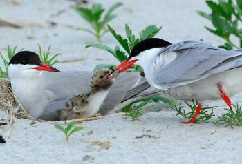 Common Tern (Sterna hirundo) by J Fenton