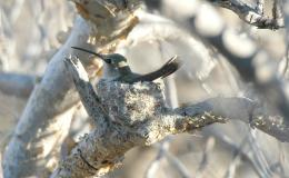 Creation Moments – Double Life of the Hummingbird