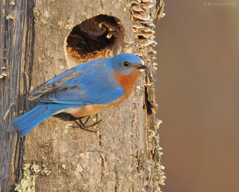 Eastern Bluebird (Sialia sialis) by J Fenton