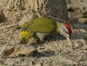 Streak-throated Woodpecker (Picus xanthopygaeus) by Nikhil Devasar