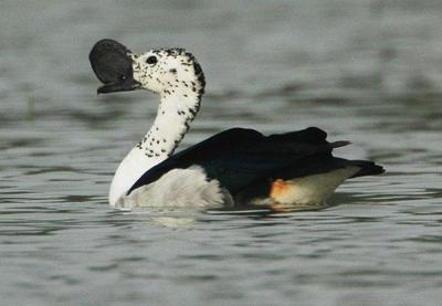 Comb Duck (Sarkidiornis sylvicola) by Nikhil Devasar