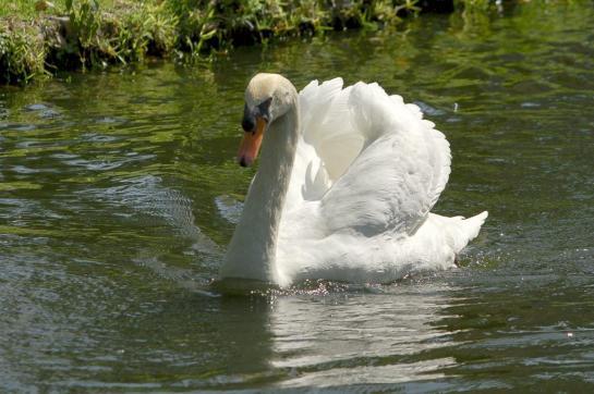 Swan (Cygnus olor)II at Bok Tower By Dan'sPix