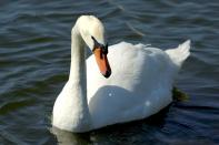 Mute Mute Swan (Cygnus olor) at Lake Morton By Dan'sPix
