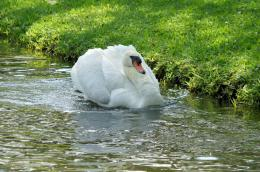 Bible Birds – Swan Introduction