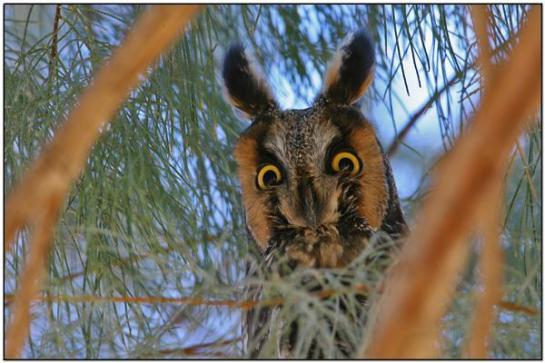 Northern Long-eared Owl