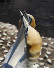 Northern Gannet (Morus bassanus) by W Kwong - N Zealand