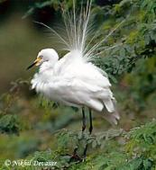 Intermediate Egret (Egretta intermedia) by Nikhil Devasar