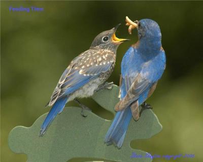 Eastern Bluebird (Sialia sialis) by S Slayton