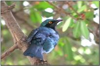 Greater Blue-eared Starling (Lamprotornis chalybaeus) by Daves BirdingPix