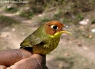 Chestnut-headed Tesia (Tesia castaneocoronata) by Nikhil Devasar