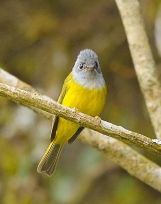 Grey-headed Canary-Flycatcher (Culicicapa ceylonensis) by W Kwong