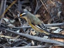 Striated Pardalote (Pardalotus striatus) by Ian