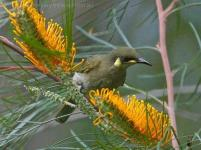 Yellow-spotted Honeyeater (Meliphaga notata) by Ian at Birdway