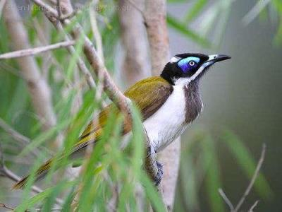 Blue-faced Honeyeater (Entomyzon cyanotis) by Ian at Birdway