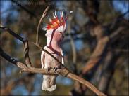 Major Mitchell's Cockatoo (Lophochroa leadbeateri) By Ian