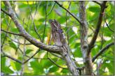 Common Potoo (Nyctibius griseus) by Daves BirdingPix
