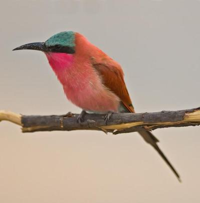 Southern Carmine Bee-eater (Merops nubicus) by Marc at Africaddict