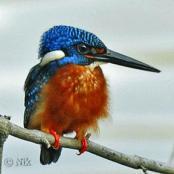 Blue-eared Kingfisher (Alcedo meninting) by NikhilDevasar