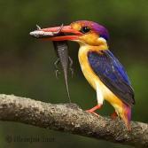 Oriental Dwarf Kingfisher (Ceyx erithaca) ©Niranjan Sant