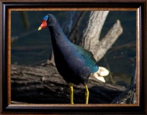 Framed Purple Gallinule by Dan