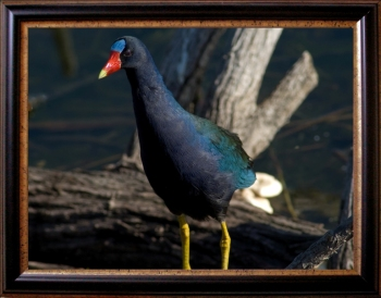 Framed Purple Gallinule by Dan