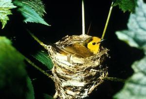 Hooded Warbler (Wilsonia citrina) ©USFWS