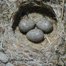 Horned Lark (Eremophila alpestris) nest w eggs by Nikhil Devasar