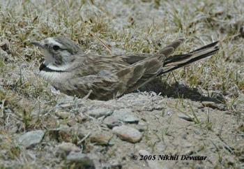 Horned Lark (Eremophila alpestris) on nestby Nikhil Devasar
