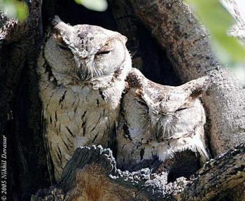 Indian Scops Owl (Otus bakkamoena) pair by Nikhil Devasar