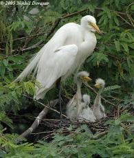 Intermediate Egret (Egretta intermedia) with chicksby Nikhil Devasar