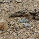 Lesser Sand Plover (Charadrius mongolus) Nest w eggs by Nikhil Devasar