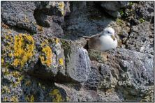 Northern Fulmar (Fulmarus glacialis) by Daves BirdingPix