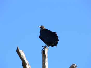 Turkey Vulture at Circle B by Lee