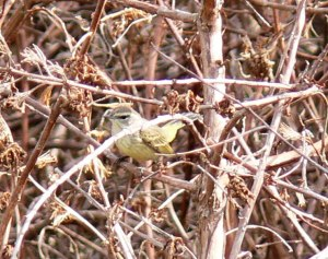 Palm Warbler - yellow
