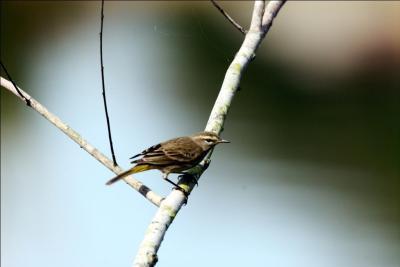 Palm Warbler by Dan