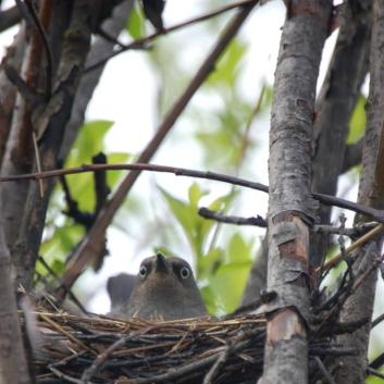 Rusty Blackbird (Euphagus carolinus) on nest ©USFWS