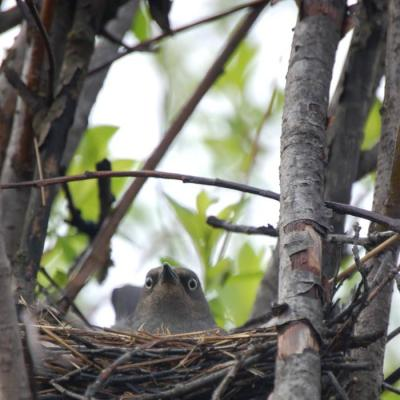 Rusty Blackbird (Euphagus carolinus) on nest ©USFWS