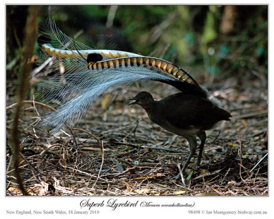 Superb Lyrebird #2