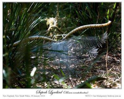 Superb Lyrebird #3