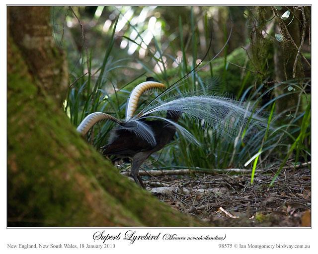 Superb Lyrebird #1